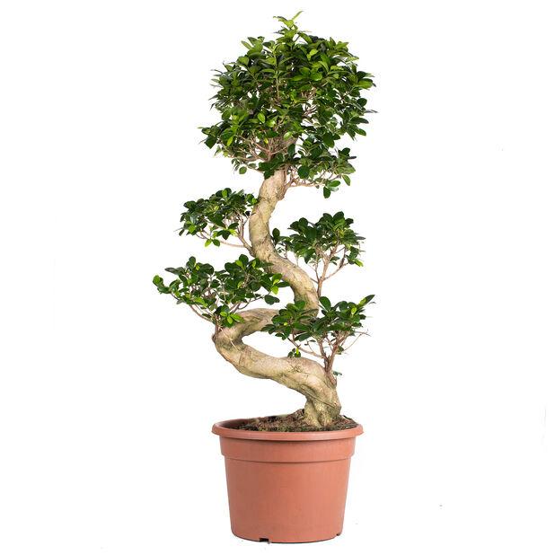 Bonsaifiken, Høyde 80 cm, Grønn