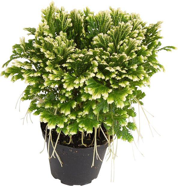 Selaginella variegata, Høyde 20 cm, Grønn