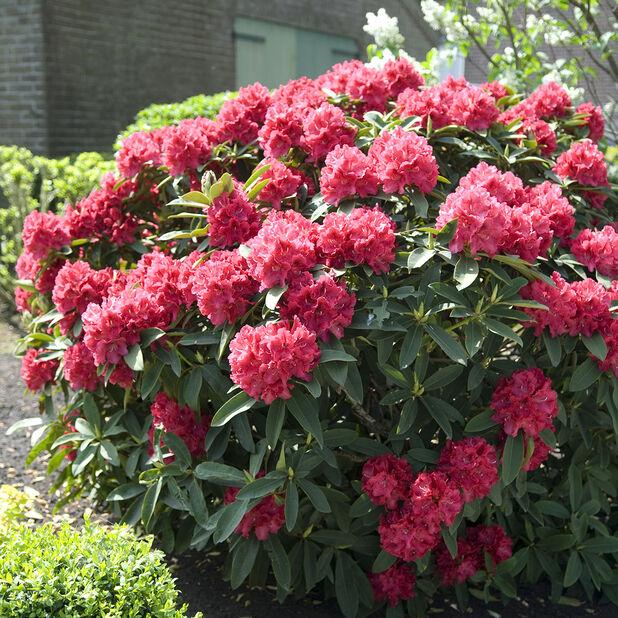 Rododendron 'Anuschka', Ø23 cm, Rosa