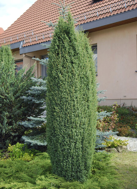 Fjelleiner 'Suecica', Høyde 50 cm, Grønn