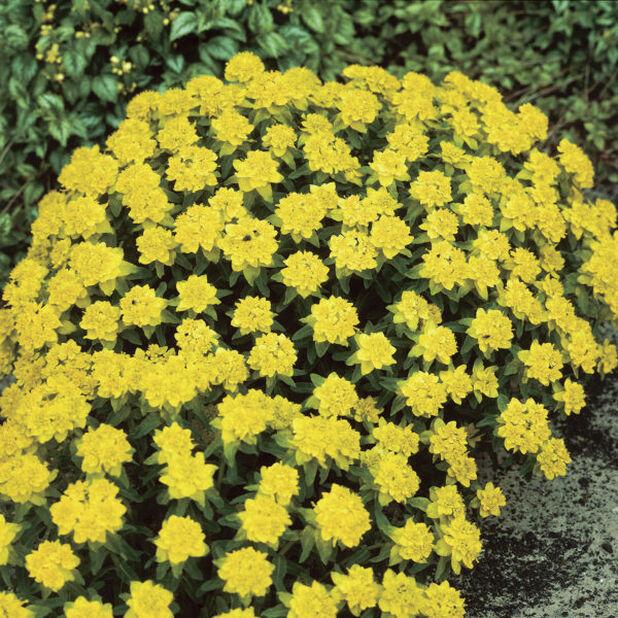 Vårvortemelk, Høyde 15 cm, Gul