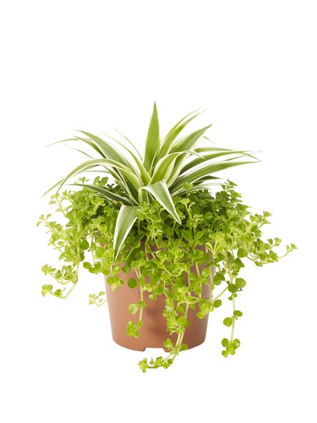 Plantekombinasjon med Pilea og Grønnrenner , Høyde 20 cm, Grønn