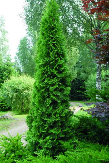 Tuja 'Smaragd', Høyde 80-100 cm, Grønn