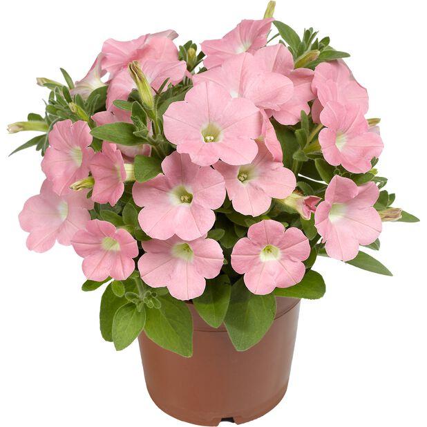 Petunia Dekko 'Bright Pink', Ø12 cm, Rosa