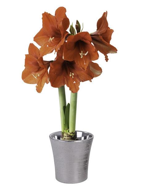 Amaryllis 2 grener rød 13 cm