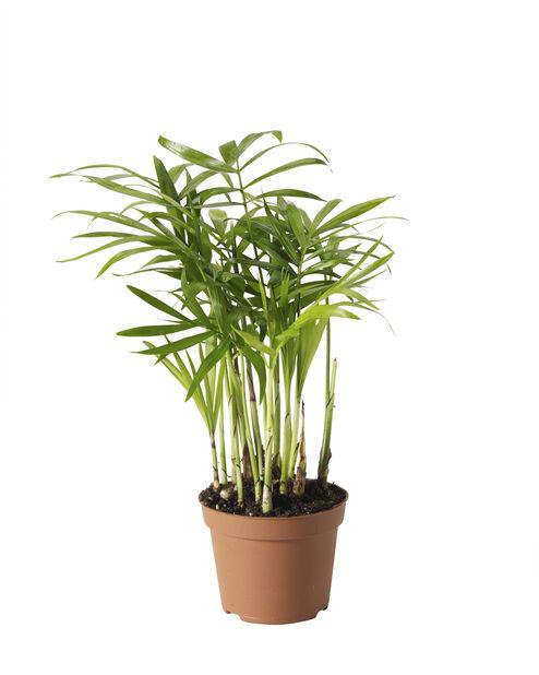 Dvergfjærpalme mini, Høyde 10 cm, Grønn