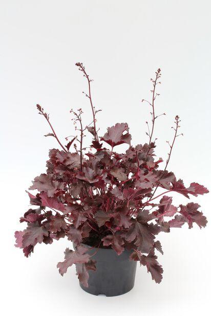 Alunrot, Høyde 25 cm, Rød
