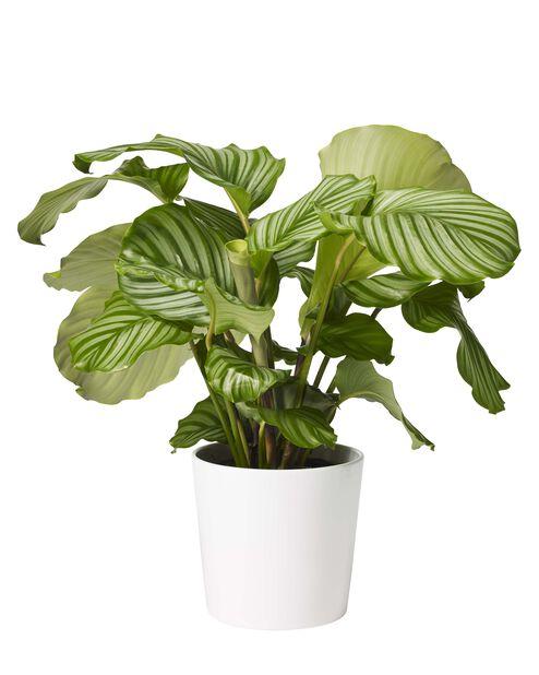 Calathea orbifolia , Høyde 80 cm, Grønn