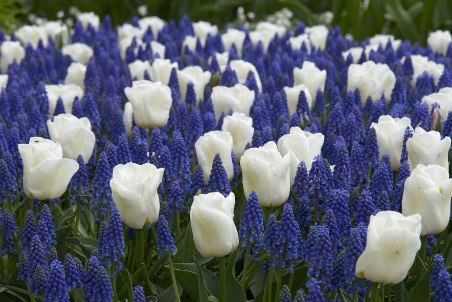 Tulipan 'Snow Woods'