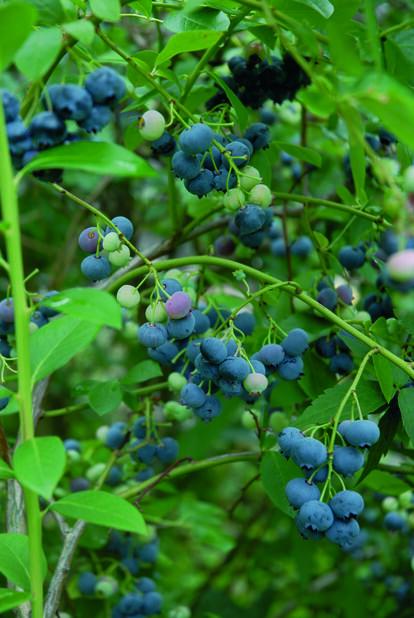 Amerikansk blåbærn'Patriot', Høyde 30 cm, Hvit