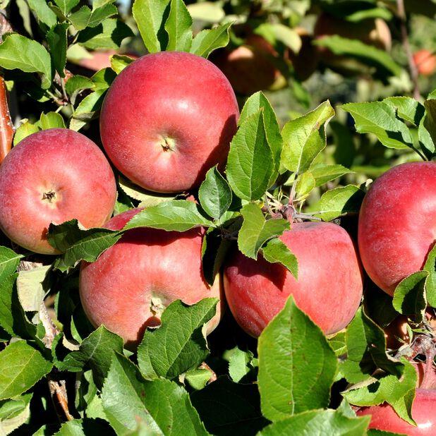 Eple 'Sonja', Høyde 160 cm, Rød