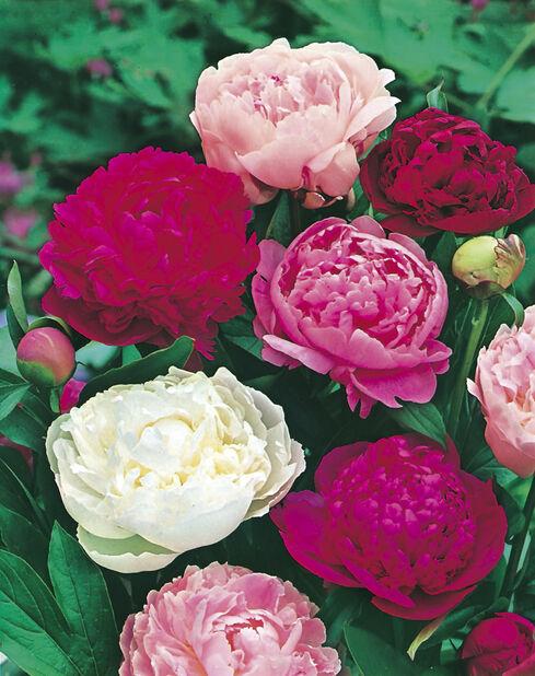 Silkepion mix sorter, Høyde 30 cm, Rød
