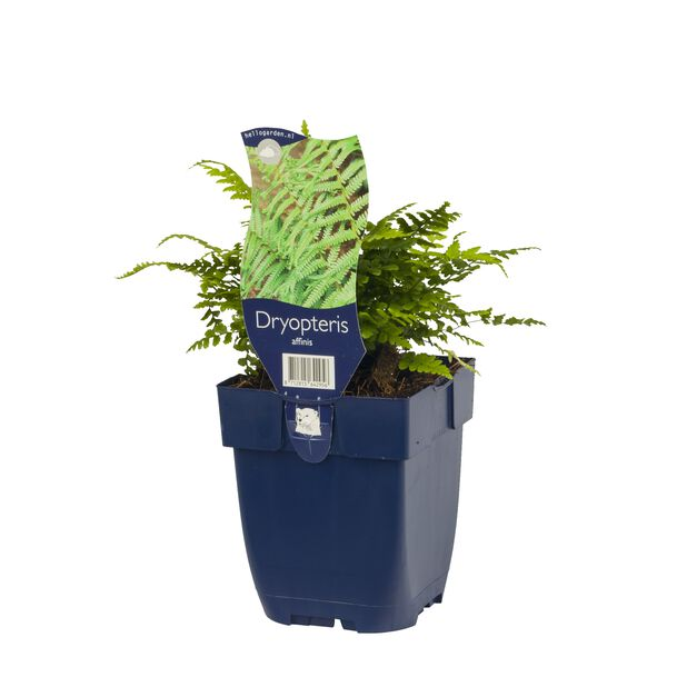 Raggtelg, Ø11 cm, Grønn
