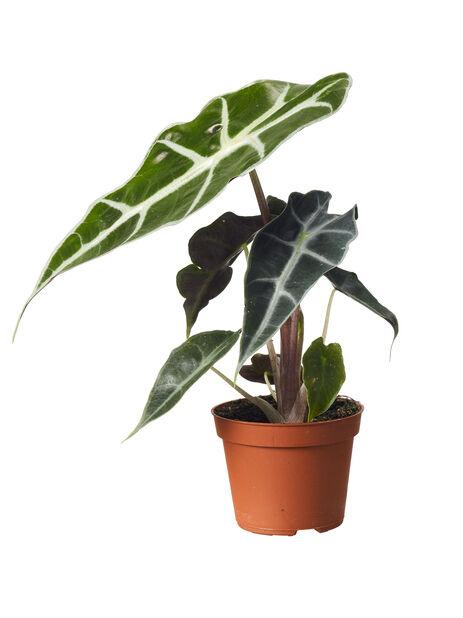 Mini Grønnplante mix , Høyde 7 cm, Grønn