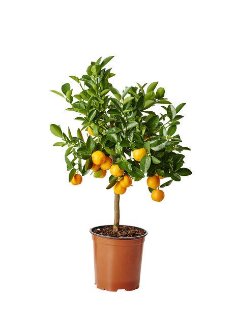 Oppstammet calamondin, Ø19 cm, Oransje
