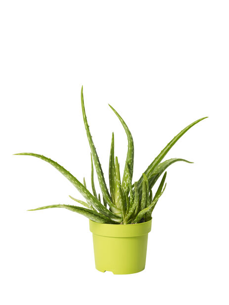 Aloe vera, høyde 30 cm