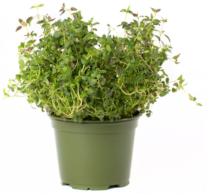 Timian, Ø12 cm, Grønn