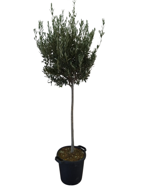 Oliventre 35 cm