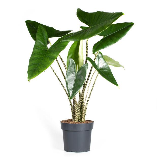 Alocasia 'Zebrina', Høyde 100 cm, Grønn