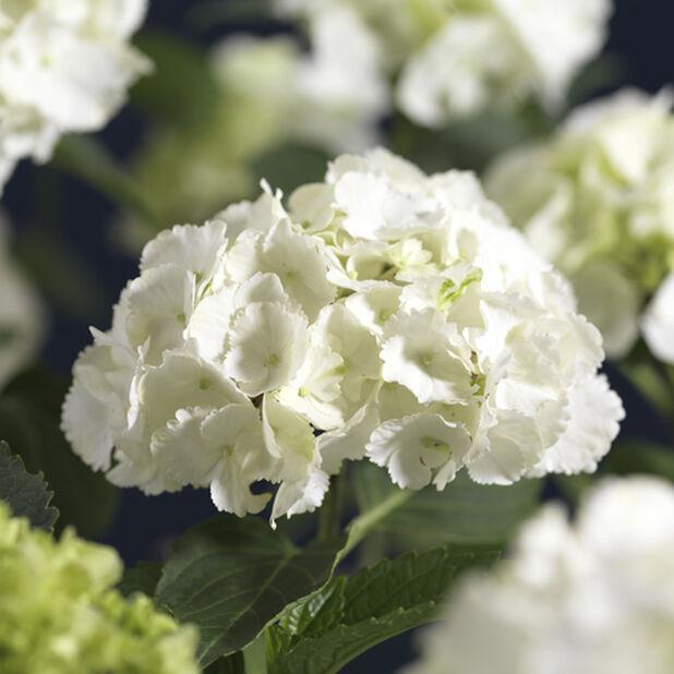 Hagehortensia, hvit