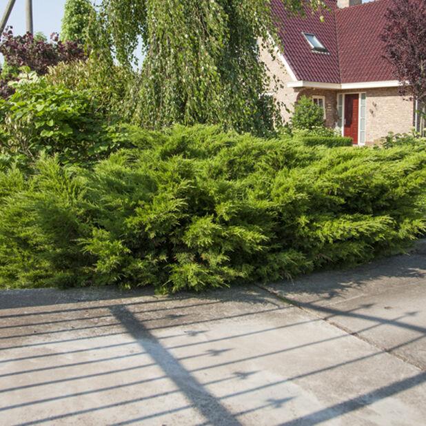 Mellomeiner 'Mint Julep', Høyde 65 cm, Grønn