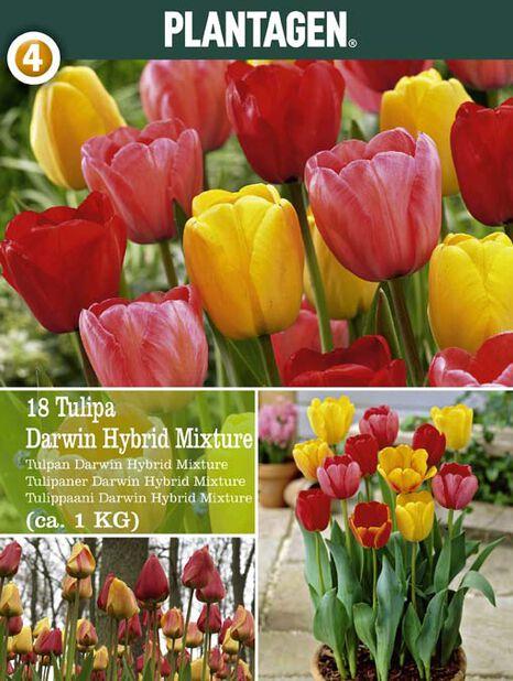 Tulipan 'Darwin', Flere farger