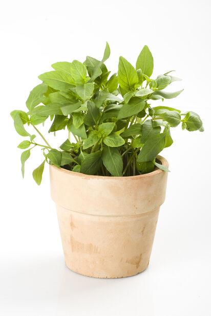 Basilikum, Ø12 cm, Grønn
