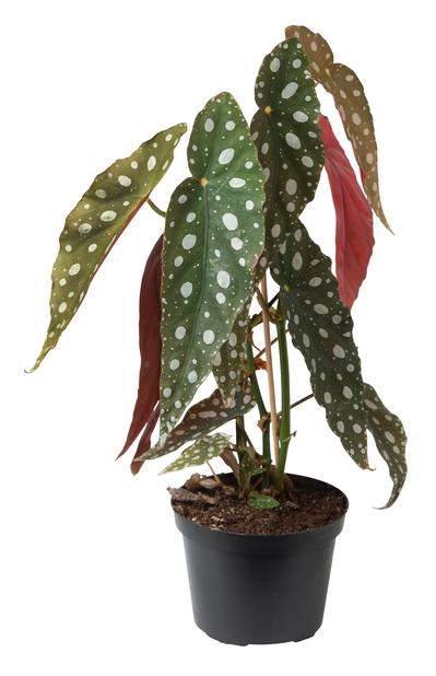 Begonia 'Maculata', Høyde 25 cm, Grønn