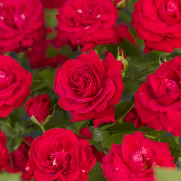 Rose 'Nina Weibull', Høyde 20 cm, Rød
