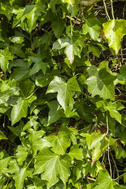 Bergflette, Høyde 40 cm, Grønn