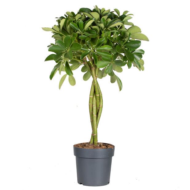 Paraplyplante, Høyde 70 cm, Grønn