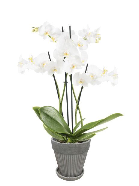 Orkidé 'Duetto', Høyde 60 cm, Hvit