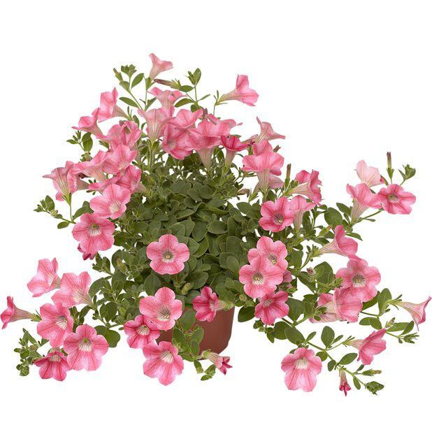 Petunia Dekko 'Rose Star', Ø12 cm, Rosa