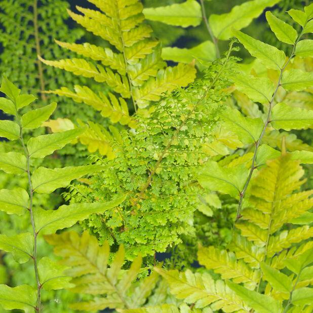 Bregnemiks, vår, Ø15 cm, Grønn