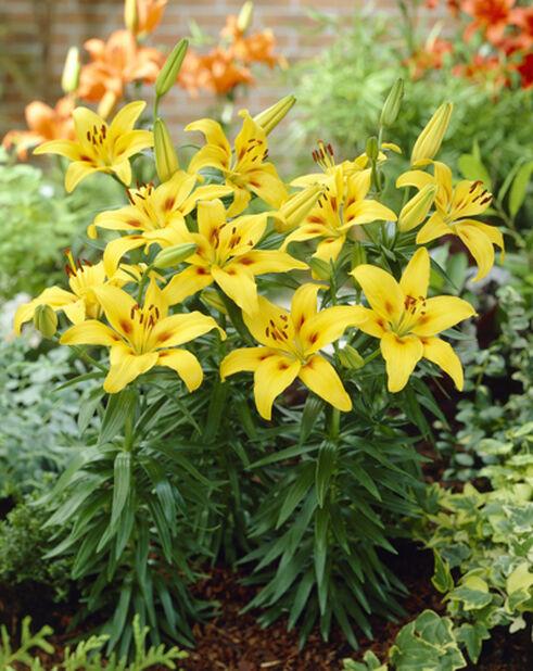 Lillium orientale, Ø19 cm, Flere farger