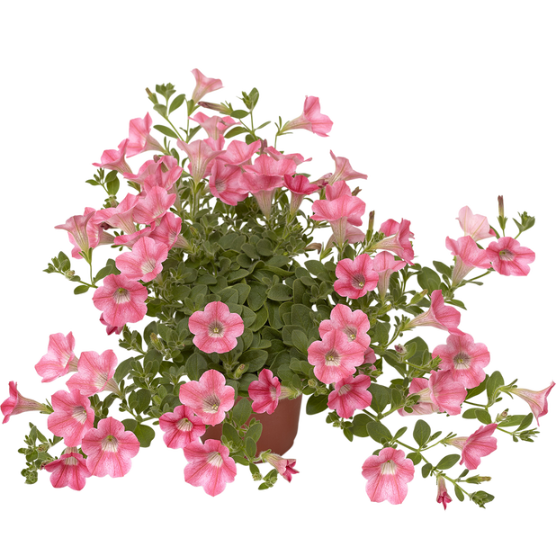 Petunia Dekko 'Coral', Ø12 cm, Rosa