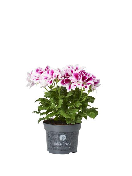 Engelsk pelargonia 12 cm Bicolor