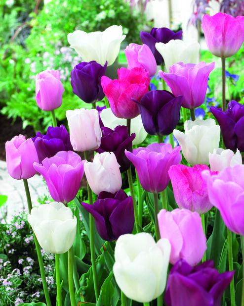 Tulipan 'Midnight Moments', Flerfarget