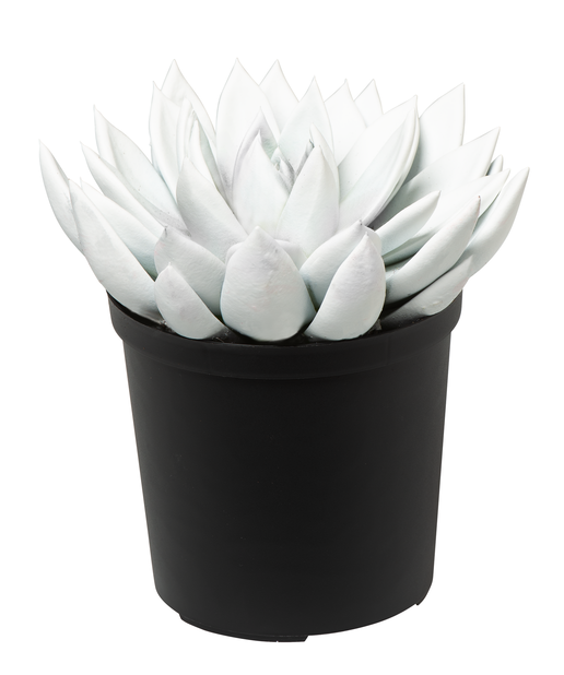 Rosetturt, Høyde 18 cm, Sølv