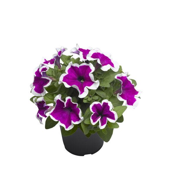 Petunia storblomstret, Ø12 cm, Flere farger