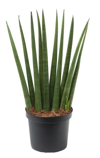 Sansevieria 'Cylindrica', Høyde 25 cm, Grønn