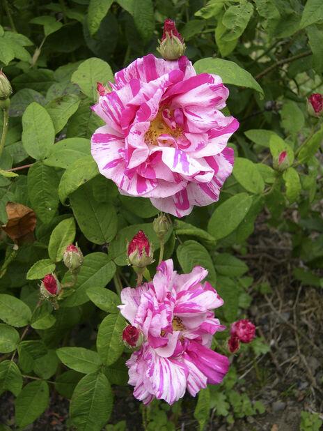 Buskrose 'Rosa Mundi', Høyde 20 cm, Flerfarget