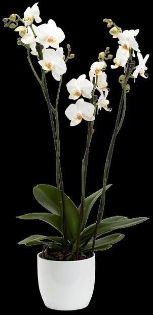 Brudeorkidé 15 cm