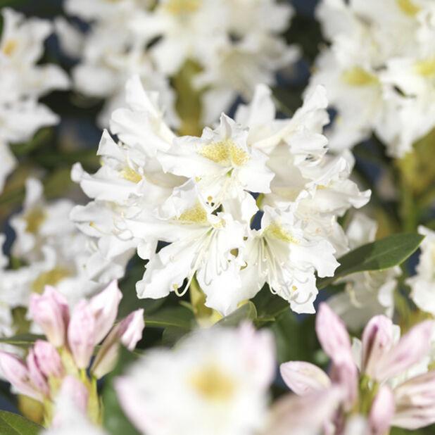Parkrododendron 'Cunningham's White', Høyde 30 cm, Hvit