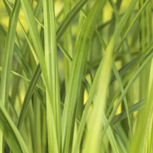 Plantaginea-starr, Høyde 30 cm, Grønn