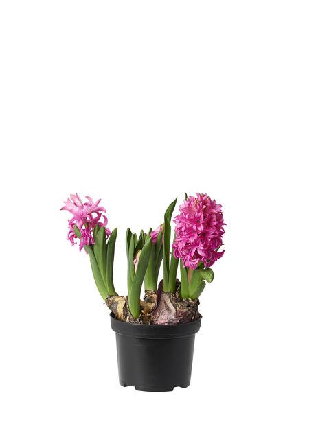Hyacinthus multiflora 9cm