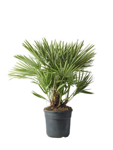 Dvergpalme, Ø27 cm, Grønn