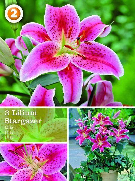 Lilium oriental Stargazer, Rosa