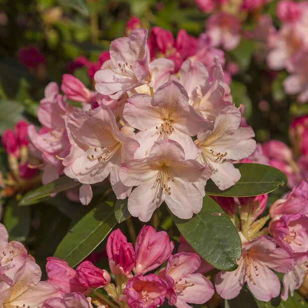 Rododendron 'Percy Wiseman', Ø23 cm, Rosa