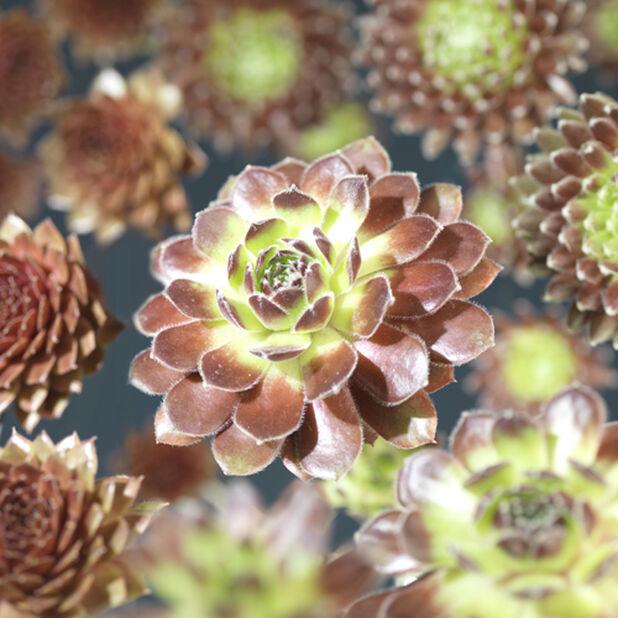 Sempervivum miks 6 pakk, Høyde 10 cm, Grønn